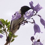 Black_Honeyeater bird flower