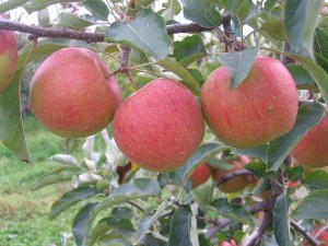 appletree apples fruit Eden tempatation