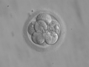 Embryo_8_cells stem_cells