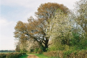 Spring_trees,_Shepherd's_Lane_-_geograph_org_uk_-_126978