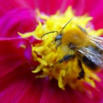 bee work flower pollen fuchia yellow bumble-bee