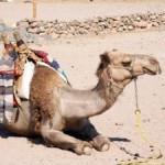 camel sand desert