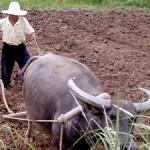 farmer farm oxen plow
