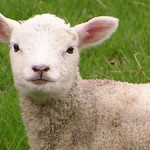 little lamb sheep baby