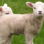 little lambs sheeps baby