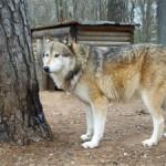 timber wolf wild animal