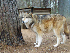 Timberwolf Size | www.pixshark.com - Images Galleries With ...